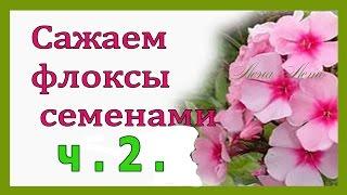 ФЛОКСЫ ч  2 . УДИВИТЕЛЬНЫЕ ВСХОДЫ !!!