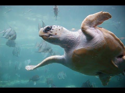 Facts: The Loggerhead Sea Turtle