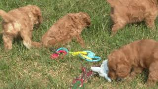 Marion Miller's Cavapoo Puppies