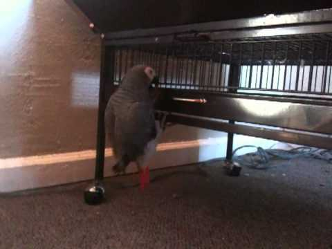 Alex the African Grey climbing down his cage