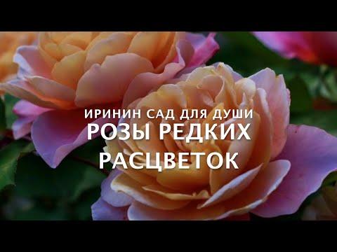 Rose//Розы редких расцветок