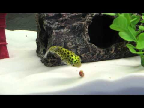 Pufferfish eating a snail for the first time