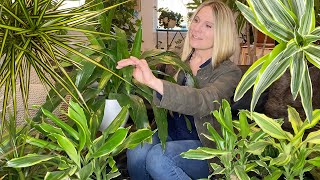 Dracaena Plant Care 101 | Dragon Tree And Corn Plant
