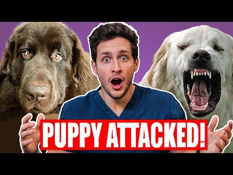 My Puppy Got ATTACKED! | Safest Way To Break Up a Dog Fight | Doctor Mike