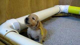 Golden Retriever puppy howling!!!