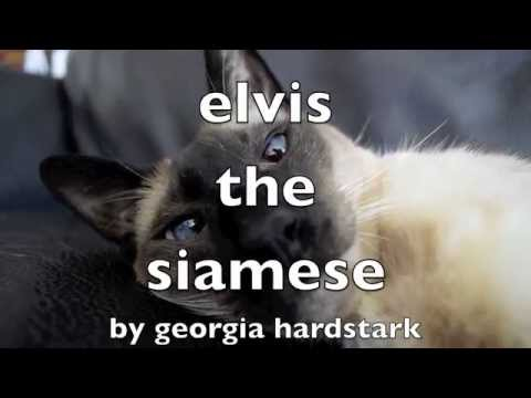 Elvis the Siamese Cat Wants a Cookie #6