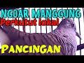 Pancingan Agar Perkutut Rajin Bunyi Dan Manggung  Mp3 - Mp4 Download