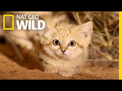Sand Cat Kittens Filmed in the Wild for First Time   Nat Geo Wild