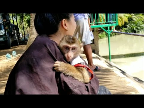 Monkey Baby Nui | Part 1 - Nui's family joins the game at Lan Vuong tourist area