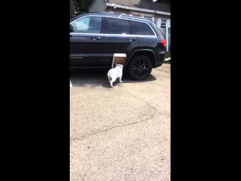 Box Dog