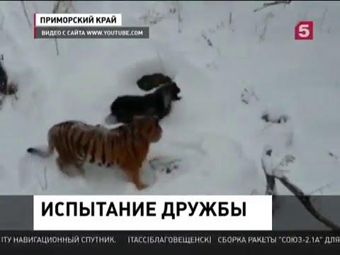 Козел Тимур получил оплеуху от тигра Амура