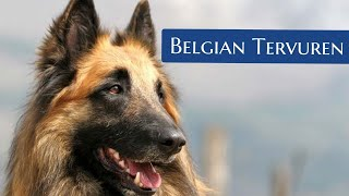 Belgian Tervuren | Facts You Didn't Know!