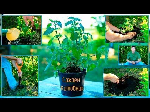 Котовник (трава) – полезные свойства и применение