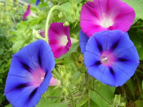 Amazing And Most Beautiful Morning Glory Flowers Pictures