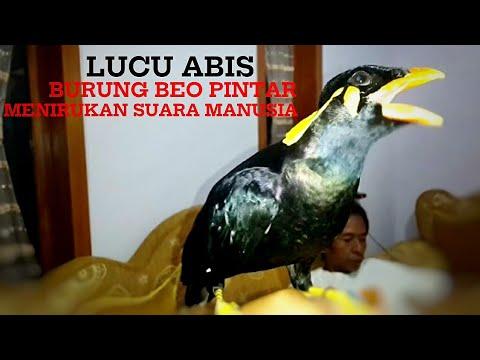 Lucu Burung Beo Jinak Dan Bisa Menirukan Suara Manusia - Parrot can talk - لطيف الببغاء