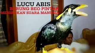 Lucu Burung Beo Jinak Dan Bisa Menirukan Suara Manusia | Parrot can talk | لطيف الببغاء