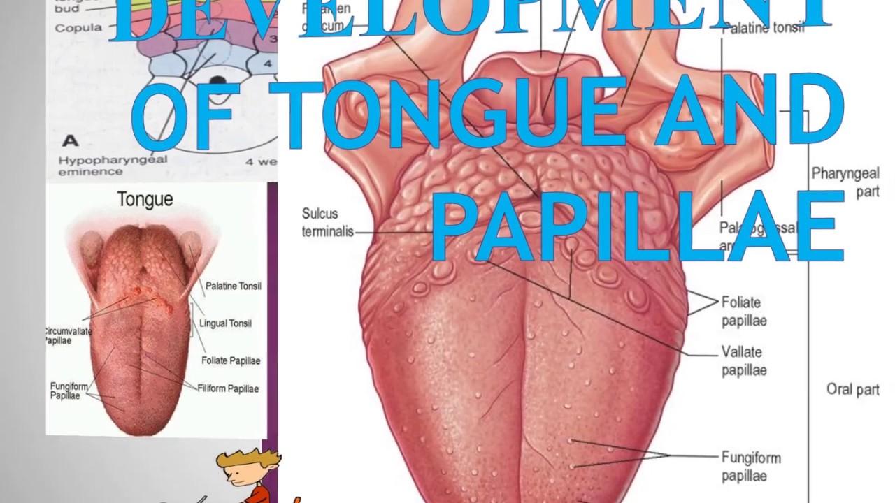 Development of Tongue and Papillae - Oral Pathology - YouTube