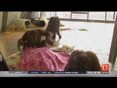Orangutan Sleep Study