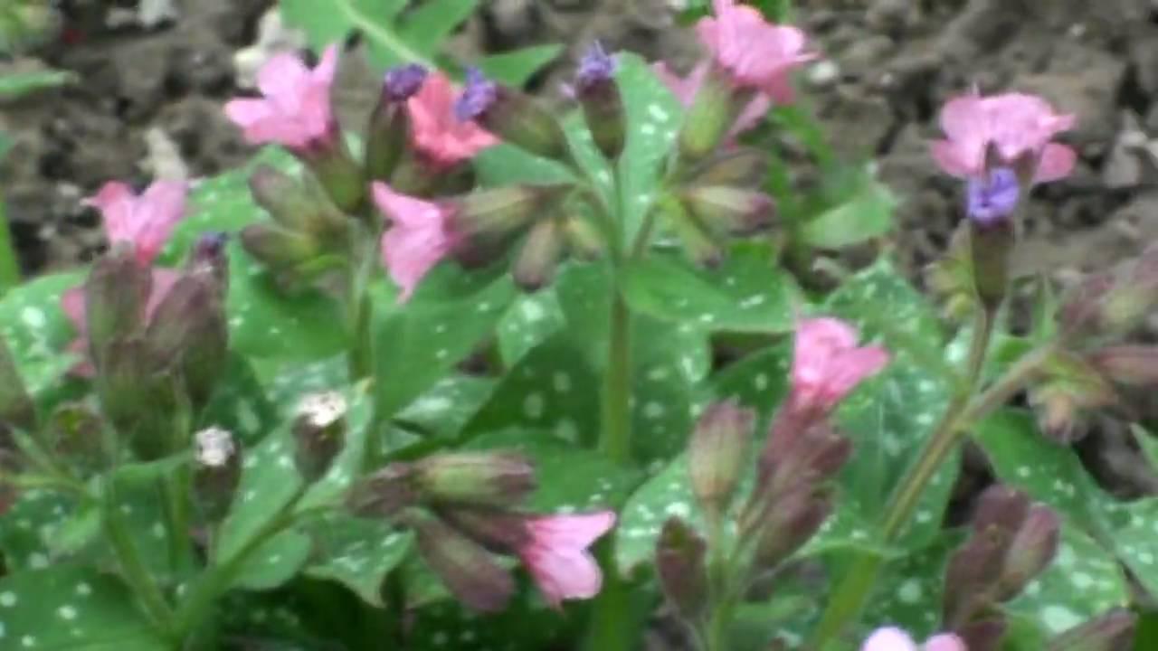 медуница фото цветок