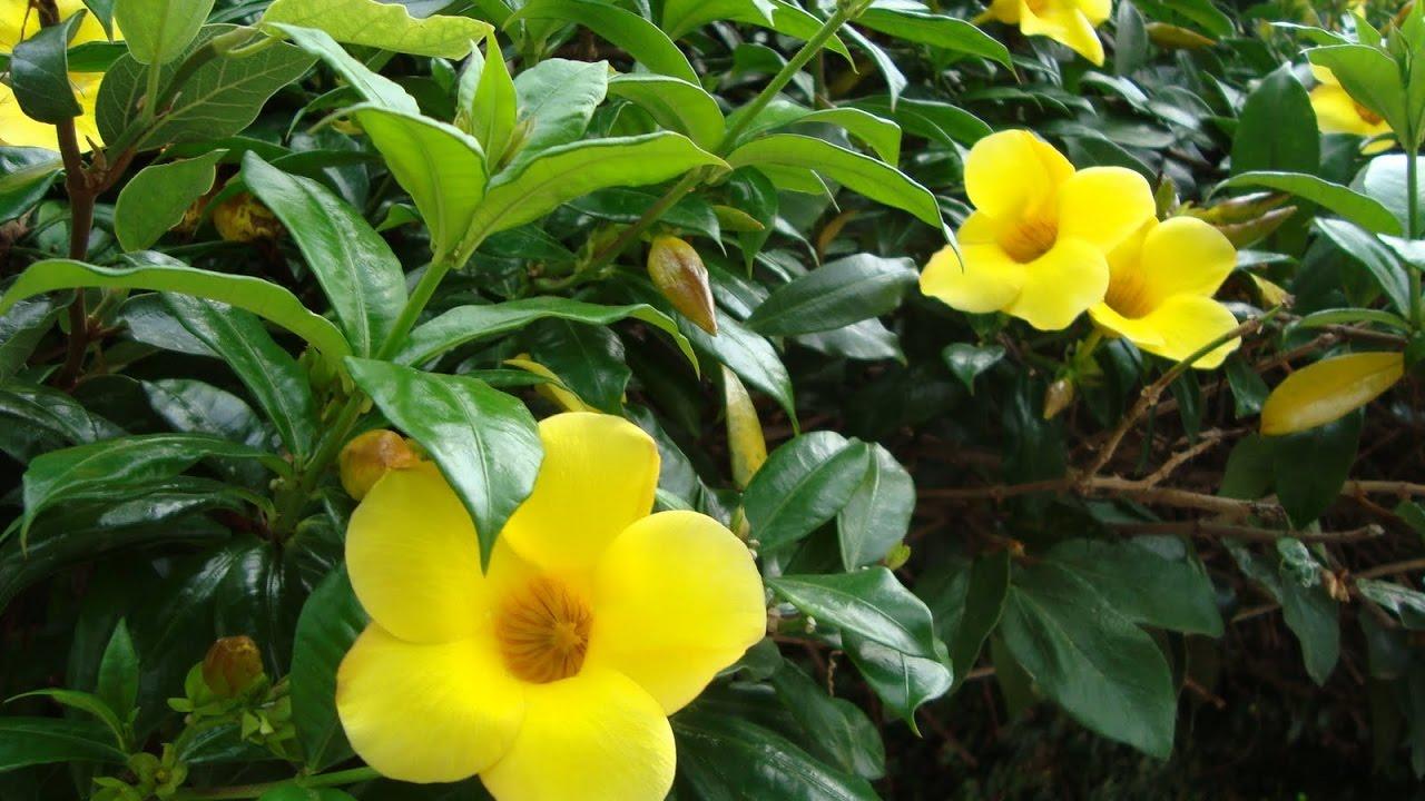 Alamanda Amarela Uma Trepadeira De Flores Lindas Youtube