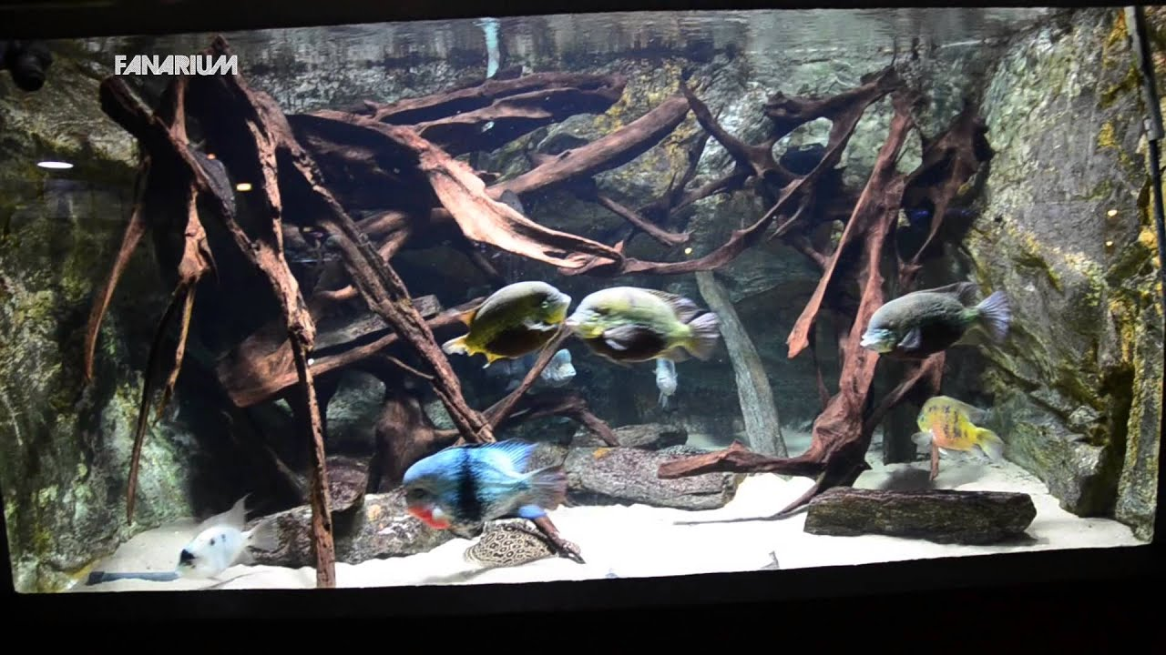 Central american cichlid at aquarium tropical de la porte dor e paris france youtube - Aquarium tropical de la porte doree ...