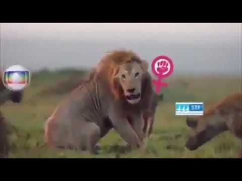 Bolsonaro - Leão x Hienas