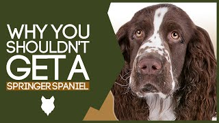 Why You SHOULD NOT Get A SPRINGER SPANIEL