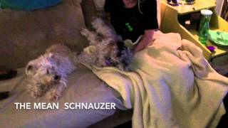 The Mean Growling Schnauzer