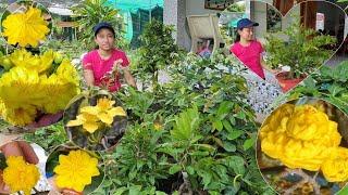 MAI VÀNG VÀ MAI GHÉP CÁC LOẠI GIỐNG ngày 21/9/2020 😍 0788 738 449 LY 😍 bonsai can tho