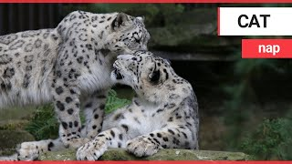 Adorable moment two loved-up snow leopards show us the definition of couple goals | SWNS TV