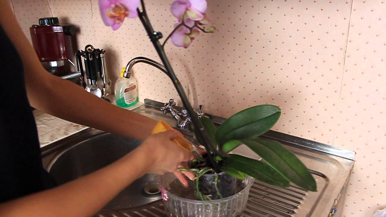 уход за цветущей орхидеей фаленопсис после покупки видео