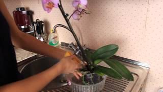 Как правильно ухаживать за орхидеей фаленопсис. Полив орхидеи(Полив орхидеи. Эксперимент с удобрением уже цветущей орхидеи - стоит ли?! А также укоренение фиттонии черенк..., 2015-03-18T15:14:02.000Z)