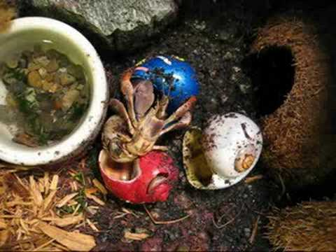Where can i buy hermit crab shells from?
