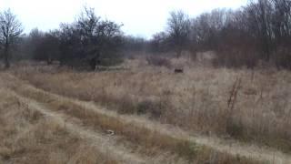 Охота на дикого фазана с Пойнтером