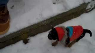 Border Terrier Pup, Snow,  And Stairs
