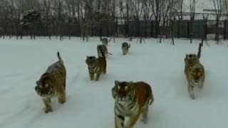 Tiger vs drone: Animal rips machine out of the sky