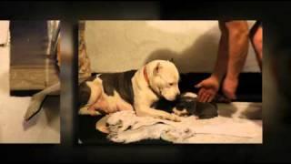 American Pit Bull Terrier | Massive Head Stud Pitt Bull | Pitbulls | Pure Bred Puppies