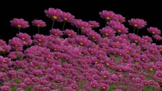 Футаж цветы Produce 7 Proshow Producer Free, слайд шоу, слайд программа