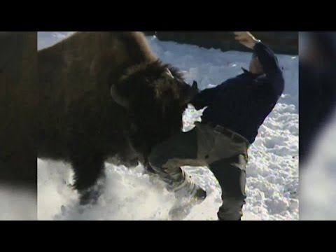 WILD: Angry Bison Charges at Ex Fire Fighter