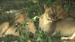 La faune du Botswana menacée par le trafic illégal