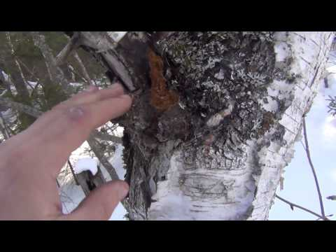 видео: Поход в тайгу за капами сувелями и за чагой продаю ссылки и телефон в описании к видео