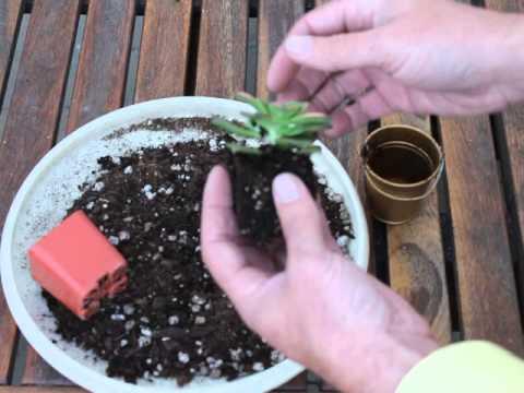 transplanting succulents youtube. Black Bedroom Furniture Sets. Home Design Ideas