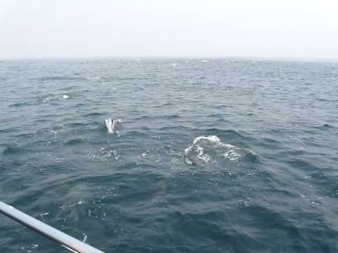 Dolphins off the coast of Luanda, Angola - August 2009 - Video 3