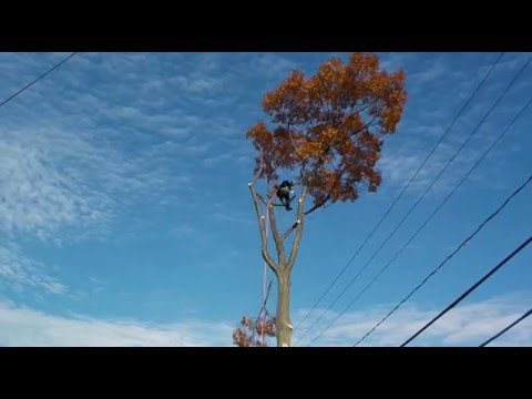 Arborist (Tree Removal of an Oak near power lines). Arboriculture