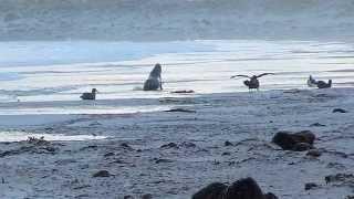 Sea Lion Attacks a Group of Penguins (Part 2)