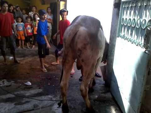 potong nya sapi mushola sapi 5