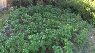 КАРТОФЕЛЬ.  Уход за картофелем в течении сезона.