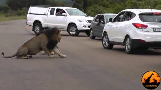 Лев создал пробку на дороге