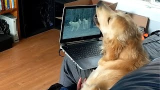 Golden Retriever Howling with Wolves | CUTE