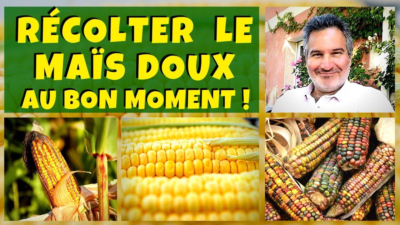 Cultiver et récolter le maïs doux (au bon moment) !